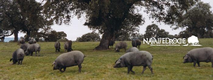 Cochinos pastando alegremente en las dehesas de Villanueva de Córdoba.